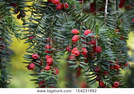 Detail Of Yew Tree With Little Red Berry