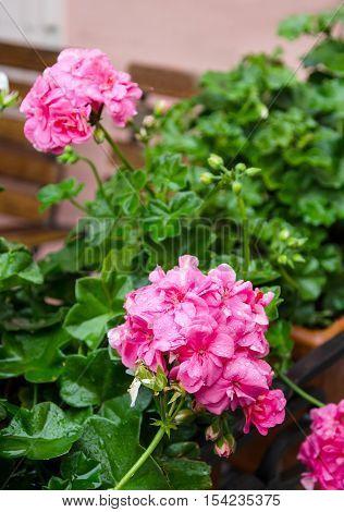 Pink garden geranium flowers in pot close up shot / geranium flowers. pelargonium
