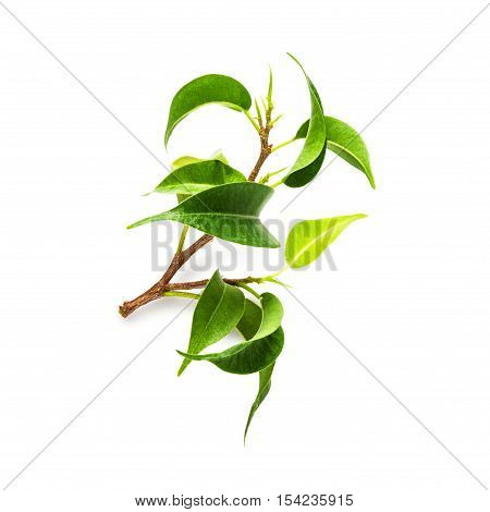 Branch of ficus benjamina houseplant on white background clipping path included