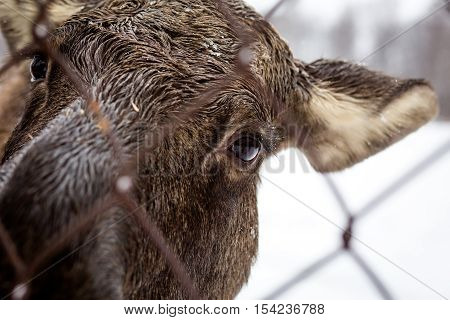Moose looking through a fence. Kostroma region Russia
