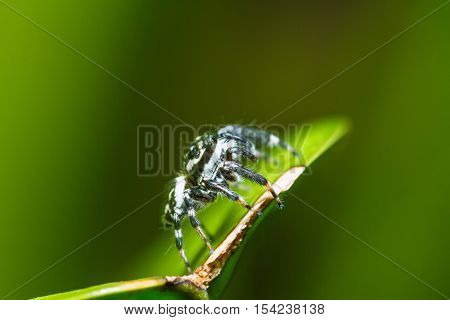 Jumping Spider (Phaeacius malayensis) waiting for prey on green leaf at night scene