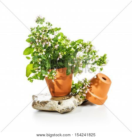 Flower pots with blooming marjoram on white background herb garden concept