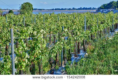 La Flotte France - september 25 2016 : vineyard in autumn