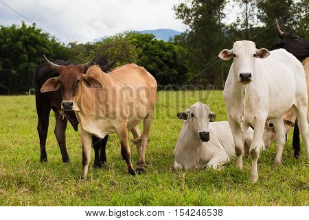 Brazilian Cows On A Pasture