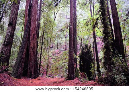 Tall Coastal Redwood Trees taken in a Northern California Redwood Forest