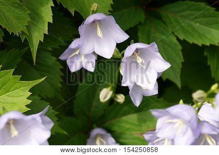 bluebells, blue, bluebell, background, bellflower, spring, forest, nature