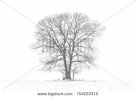 Large Majestic Tree in Snow Storm - Black and White