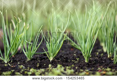 Spring garden plants - garlic, onion. bow grows on beds.