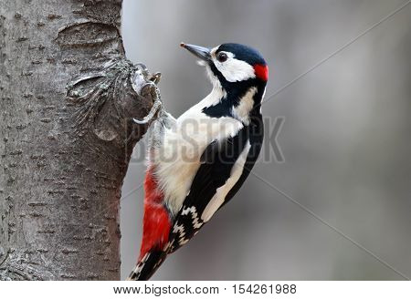 bird great spotted woodpecker sits on a tree trunk in the Park