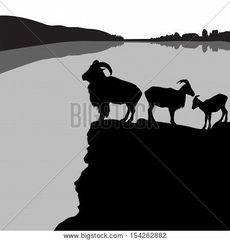 Herd of barbary sheep on a rocky hill
