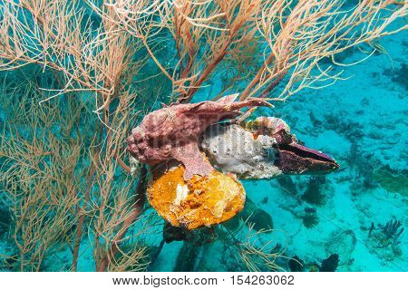 Frog Fish Near Coral Bottom , Maldives