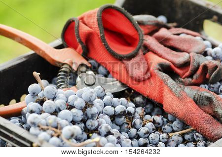 Gloves and secateurs in a crate with grapes