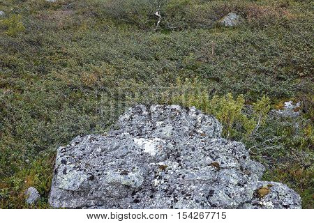 Cliff anf dwrf birch trees background. Flora of arctic tundra