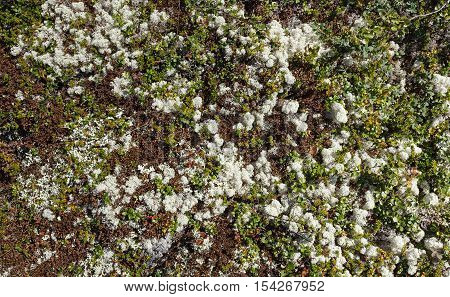 Tundra texture background with blueberry dwarf birch and lichen
