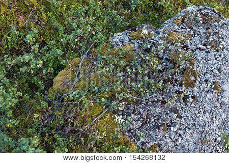 Dwrf birch and lichen background. Flora of arctic tundra