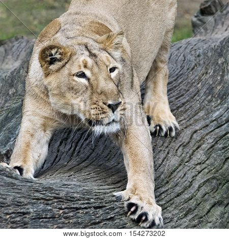 A shot of a lioness stretching its body