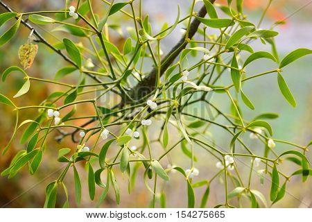 Mistletoe With Whitw Berries - Viscum Album White Berries On Mistletoe
