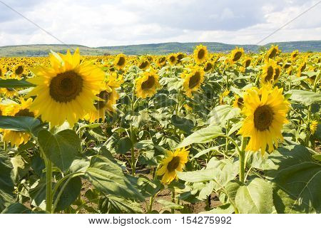 Field with sunflowers, recorded in Bulgaria, near village Kraynevo.
