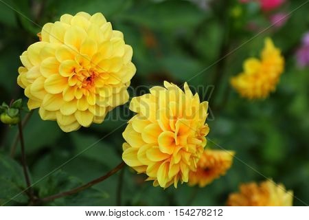 close up view of beautiful Yellow Dahlias