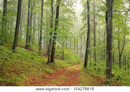 Path through the beech forest on a rainy, foggy weather.