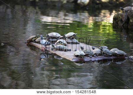 Turtles go about their business Thailand South East Asia