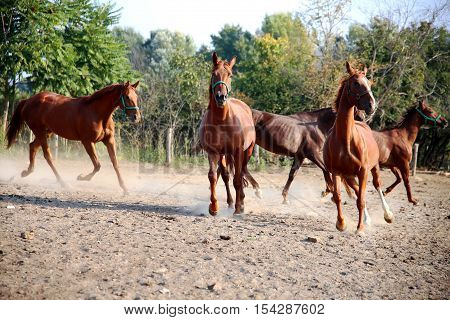 Thoroughbred young hungarian gidran stallions runs across in summer corral