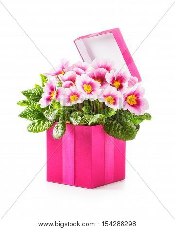 Pink gift box with primula spring flowers. Holiday present and mothers day concept. Object isolated on white background clipping path included