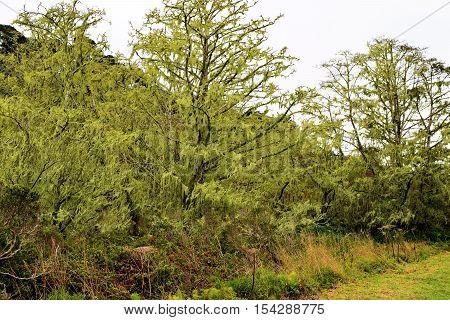 Spanish moss on Cypress Trees taken in Pt Reyes, CA