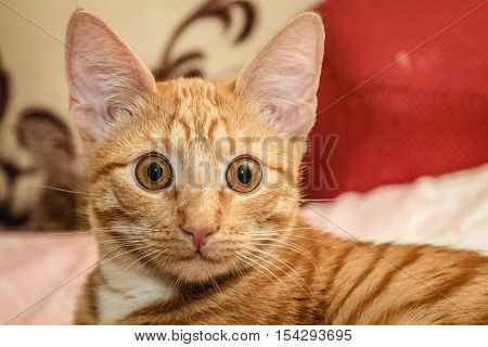home Red cat with big eyes closeup
