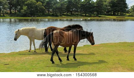 New Forest ponies grazing in the waters edge at Hatchet Pond