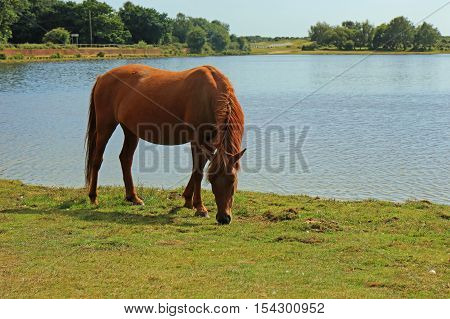 Pony grazing by the waters edge at Hatchet Pond in the New Forest
