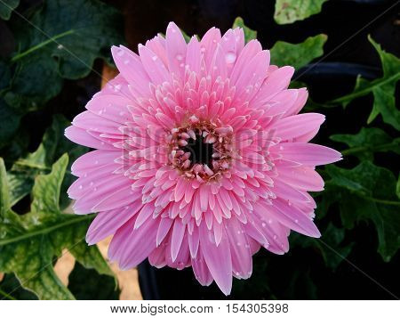 Flowers planted in a pot. Gerbera. Natural flowers.