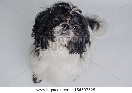 Little Dog Looking At Owner