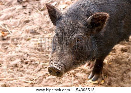 a Image of black adult pig snout