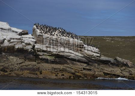 Large group of Imperial Shag (Phalacrocorax atriceps albiventer) on a rocky outcrop in the sea off Carcass Island in the Falkland Islands.