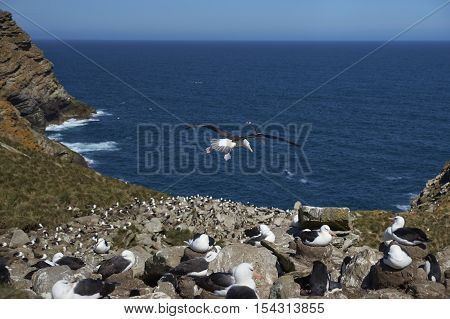 Black-browed Albatross (Thalassarche melanophrys) and Southern Rockhopper Penguins (Eudyptes chrysocome) nest together on the cliffs of West Point Island in the Falkland Islands.