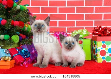 Two Siamese kittens siblings sitting on red fur carpet by christmas tree decorated with yarn balls and lights with presents around them brick wall background