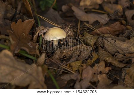 Mushroom in woods in autumn foliage on forest ground