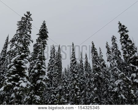 Snow Covered Pine Forest on a Foggy Day