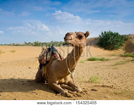 Camel sitting on a desert with blue sky on the background