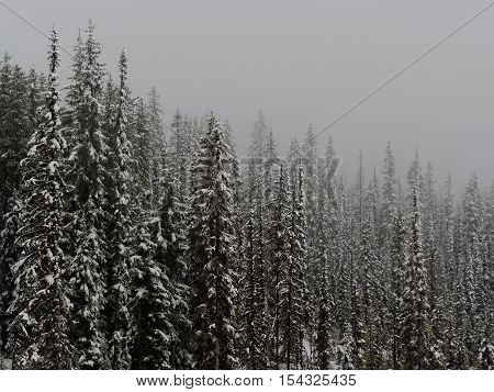 Snow Covered Canadian Forest on a Foggy Day