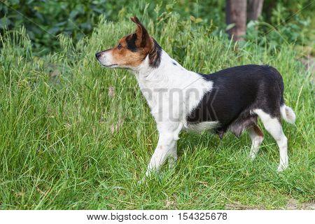 A nursing mongrel dog stands among green grass