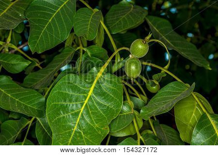 large green walnut leaves on a tree in the garden