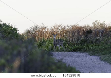 Backlit White-tailed Deer caught in the open just after sunrise