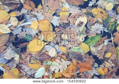 Mix of fall multicolored leaves which cover the pond