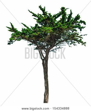 Pine tree plant isolated on white background. Granite coast Brittany France.