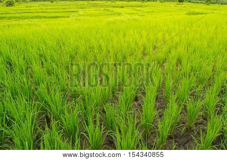 Oryza sativa is the plant species most commonly referred to in English as rice. Rice is known to come in a variety of colors including: white rice brown rice black rice purple rice and red rice.