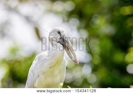 The Asian openbill or Asian openbill stork is a large wading bird in the stork family. This distinctive stork is found mainly in the Indian subcontinent. It is greyish or white with glossy black wings