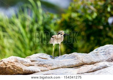 The great stone-curlew or great thick-knee is a large wader which is a resident breeder in tropical southern Asia from India, Pakistan, Sri Lanka, Bangladesh into South-east Asia.