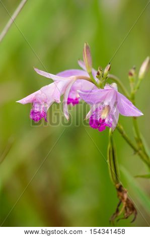 Bamboo Orchid Is Beautiful Flower And Have White, Pink Colour